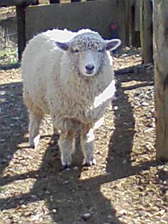 羊からのお詫び